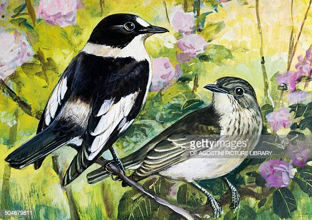 Collared Flycatcher Muscicapidae drawing