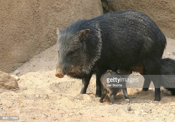 Collared Peccary Mother With Baby