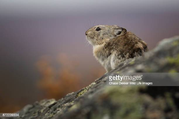 collared pika - pika stock pictures, royalty-free photos & images