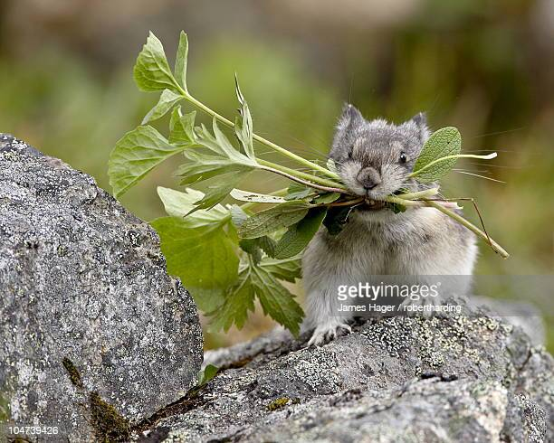 collared pika (ochotona collaris) taking food to a cache, hatcher pass, alaska, united states of america, north america - pika stock pictures, royalty-free photos & images