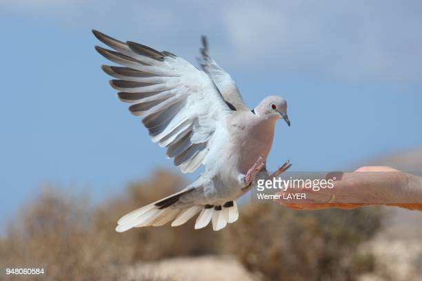 Collared Turtle Dove fligth to the hand