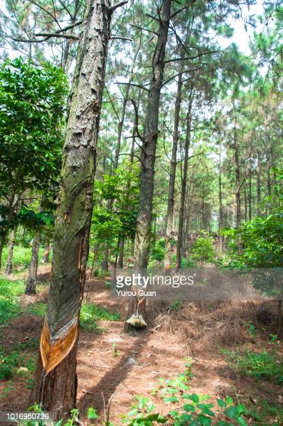 collect the resin of pine tree,xinhui of jiangmen,guangdong,china. turpentine is the raw material for making rosin and turpentine. - trail of tears stock photos and pictures