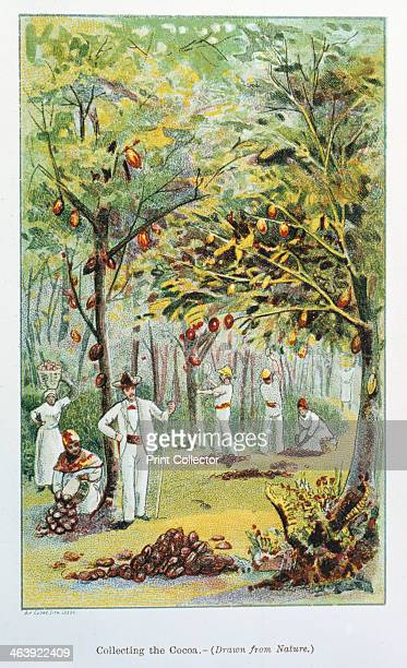 Collecting cocoa Venezuela 1892 From Cocoa All About It by 'Historicus'