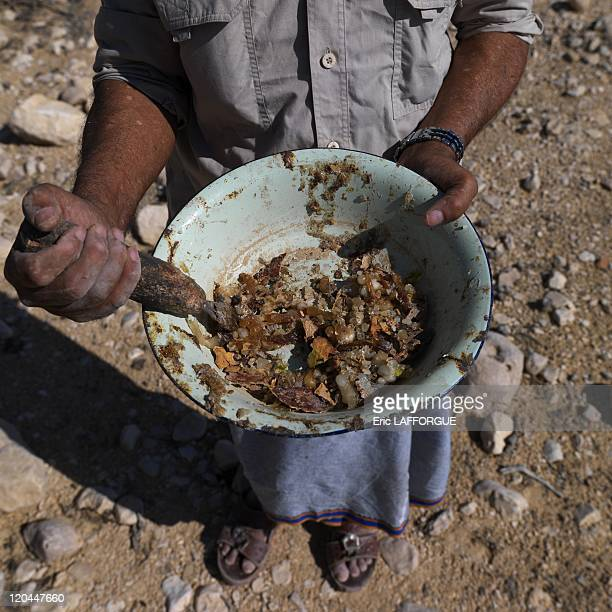 Collecting Frankincense in wadi dawkah Oman on December 21 2009 Mister Musallem from Gedad tribe collecting frankincense he uses a mansaha to cut the...