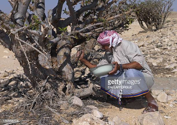 Collecting Frankincense in wadi dawkah, Oman on December 21, 2009 - Mister Musallem, from Gedad tribe, collecting frankincense. He uses a mansaha to...