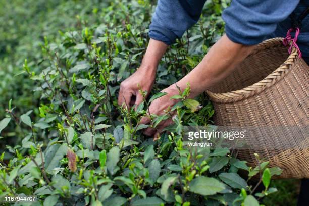 collecting green tea leaf , longjing village, hangzhou - colher atividade agrícola - fotografias e filmes do acervo