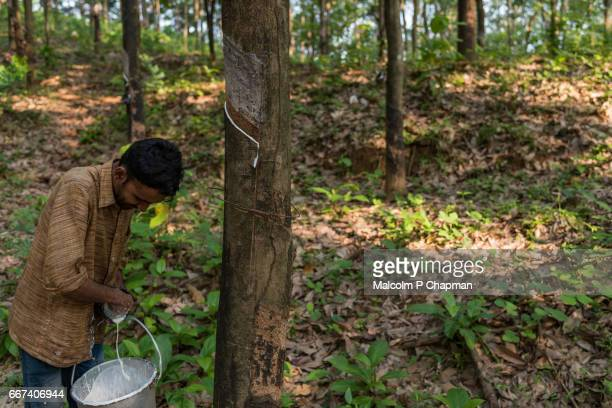 """collecting latex after rubber tapping, man working on plantation, irumbakachola near palakkad, kerala, india - india """"malcolm p chapman"""" or """"malcolm chapman"""" ストックフォトと画像"""