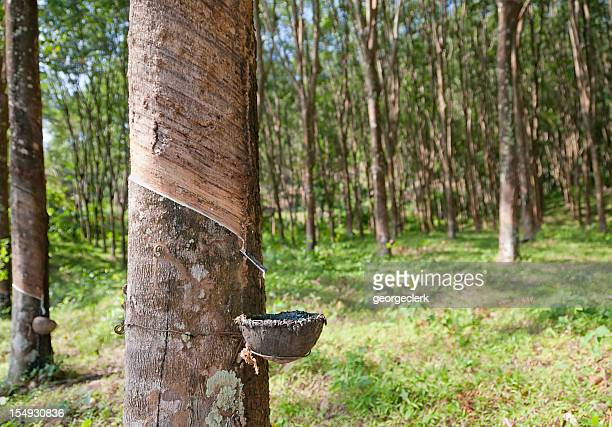 collecting latex from a rubber tree - rubber stock pictures, royalty-free photos & images