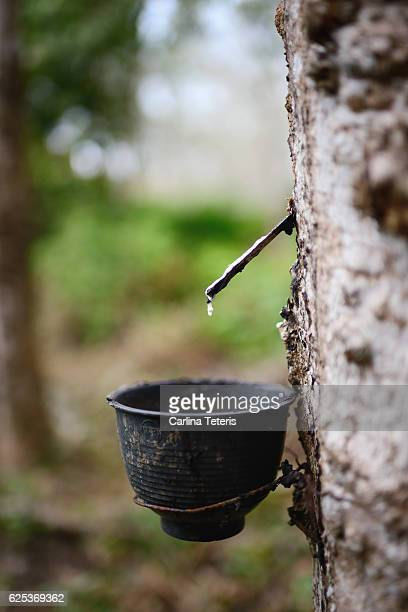 Collecting latex from a rubber tree