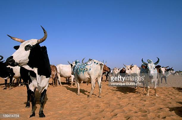 Collecting of herd for the festival of cows crossing in Diafarabe Mali A few months after the end of the rainy season the pastures of the north bank...