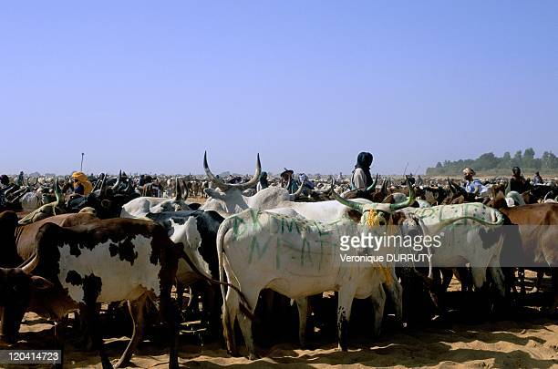 Collecting of herd for the festival of cows crossing in Diafarabe Mali Niger River becoming too dry the herds of cattle have to change their bank to...