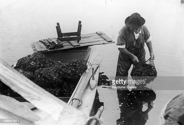 Collecting Oysters Before 1939