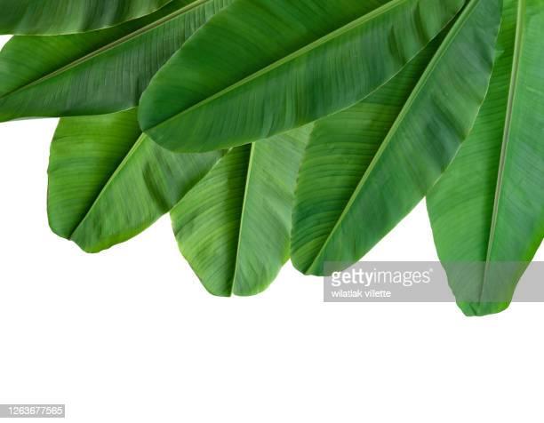 collection of banana leaf isolated on white background - árbol tropical fotografías e imágenes de stock