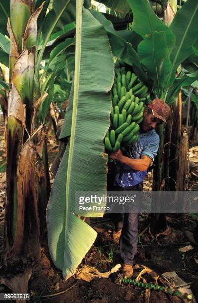 Collection of bananas A man picking up bananas Tenerife province