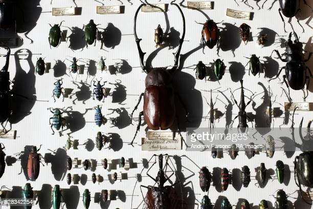 A collection of beatles from the Alfred Russel Wallace Collection on display at the Natural History Museum London Friday February 10 2006 A chance...