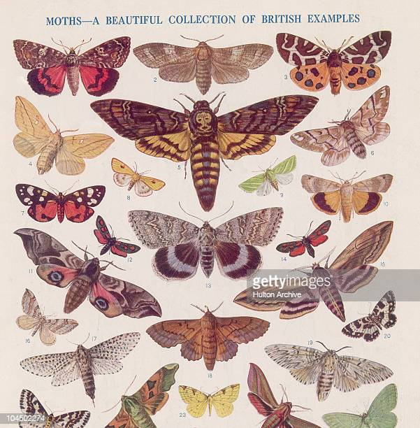 A collection of British moths circa 1850 They include the dark crimson underwing goat moth common tiger moth drinker moth death'shead hawkmoth...