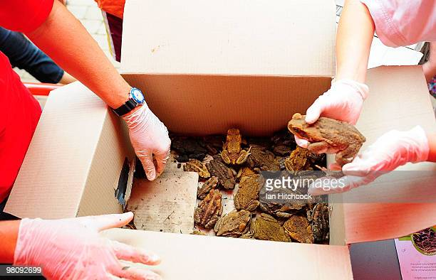 A collection of cane toads are being removed from a container during the nowannual Toad Day Out 2010 at the Thuringowa Soundshell on March 28 2010 in...