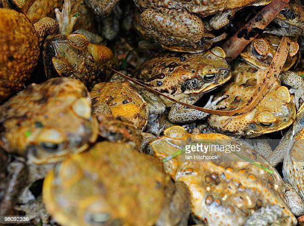 A collection of cane toads sit in a container during the nowannual Toad Day Out 2010 at the Thuringowa Soundshell on March 28 2010 in Townsville...