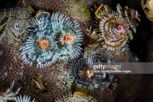 A collection of colorful Christmas tree worms grow on a reef in Komodo National Park.