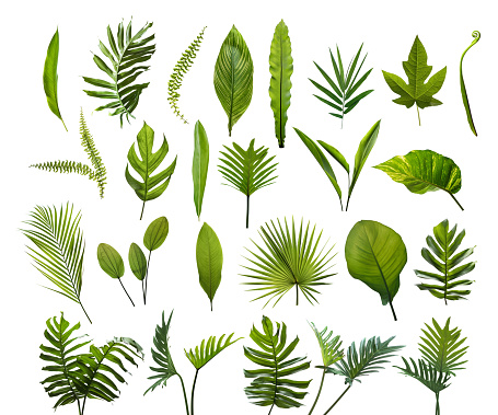 Collection of different tropical leaves. Elements set leaf on isolated white background 1022855540