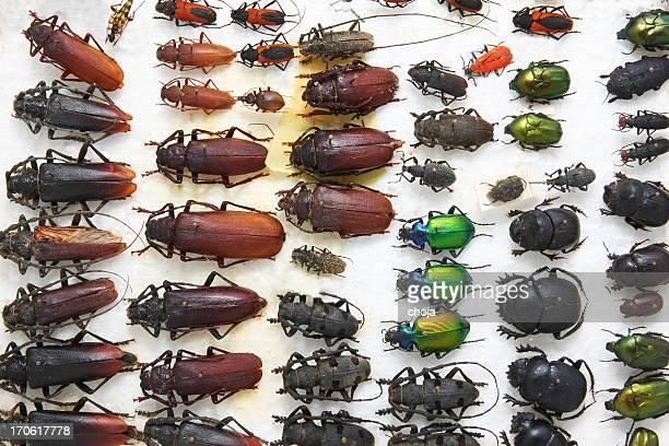 Collection of diffrent beetles