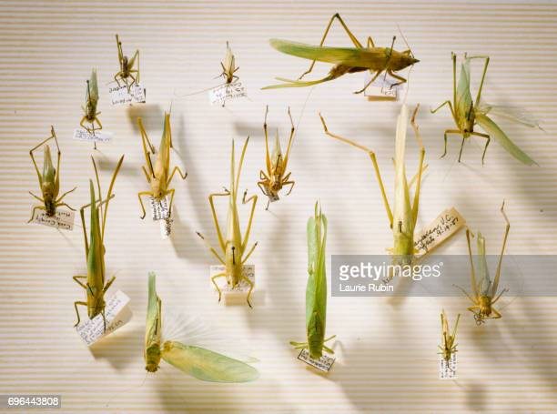 A collection of Grasshoppers