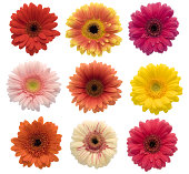 Collection of isolated Gerberas (XXL)