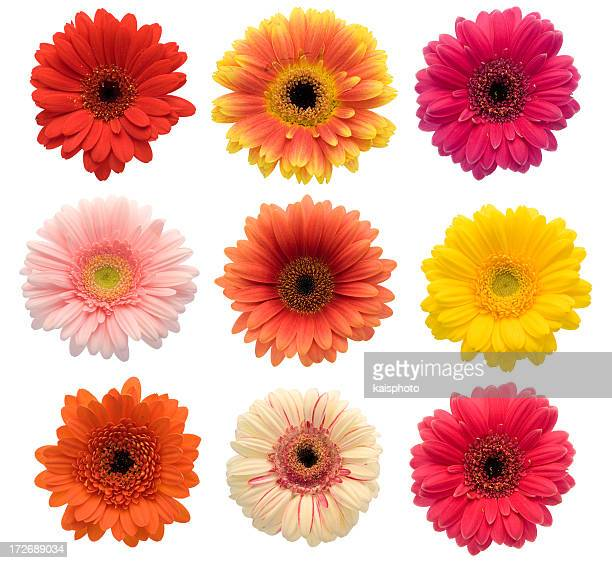collection of isolated gerberas (xxl) - gerbera daisy stock pictures, royalty-free photos & images