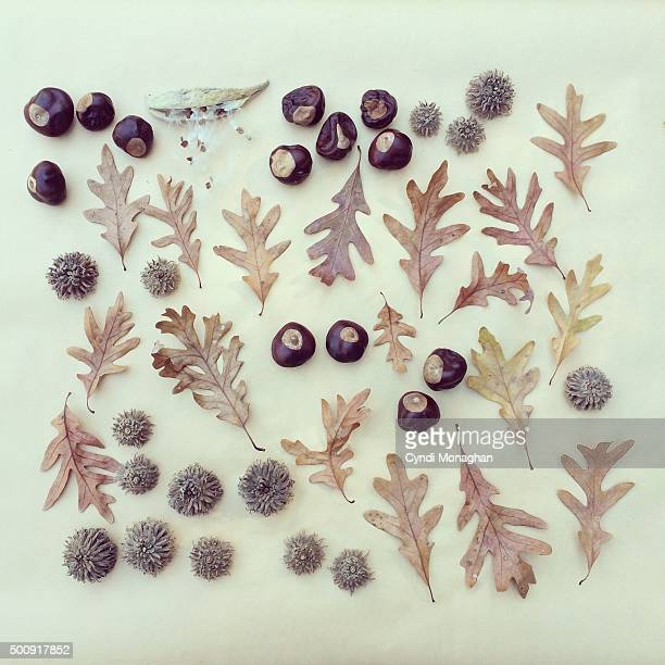 collection of oak leaves and buckeyes - picture of a buckeye tree stock photos and pictures