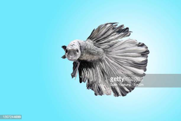 collection of siamese fighting fish , betta splendens , black and white on blue background, - black siamese cat stock pictures, royalty-free photos & images
