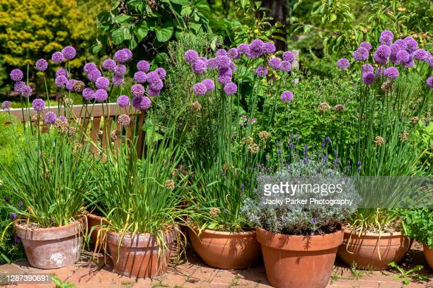 a collection of terracotta plant pots with purple allium flowers planted for a summer display - terracotta stock pictures, royalty-free photos & images