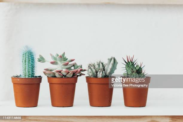 collection of various cactus and succulent plants in different pots. potted cactus house plants on white shelf against white wall - botánica fotografías e imágenes de stock