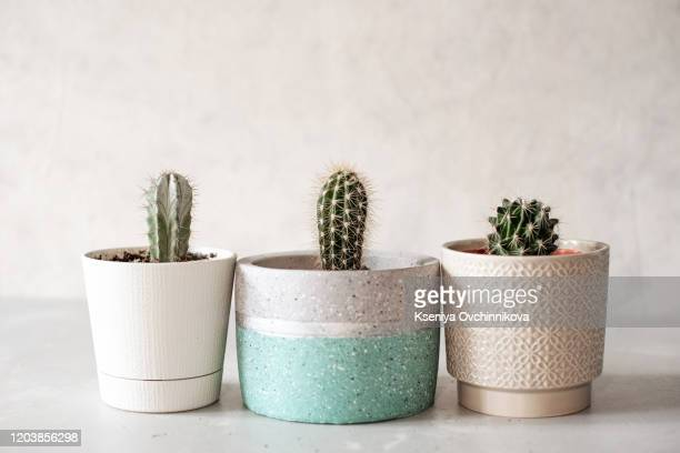 collection of various cactus and succulent plants in different pots. potted cactus house plants on white shelf against white wall. - plant pot stock pictures, royalty-free photos & images