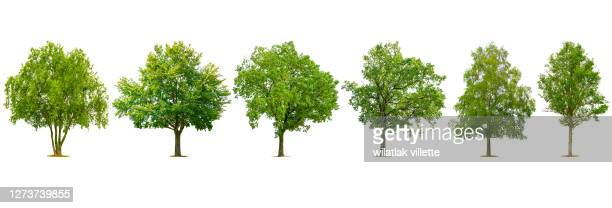 collection of various species of trees isolated on white background. - baum stock-fotos und bilder