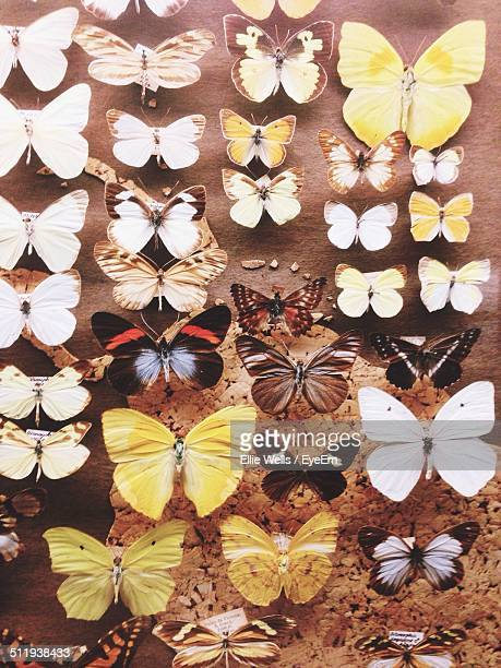 Collection of wide range of butterflies