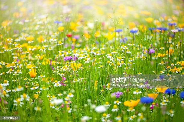 a collection of wildflowers in a meadow in the hazy summer sunshine - flower head stock pictures, royalty-free photos & images