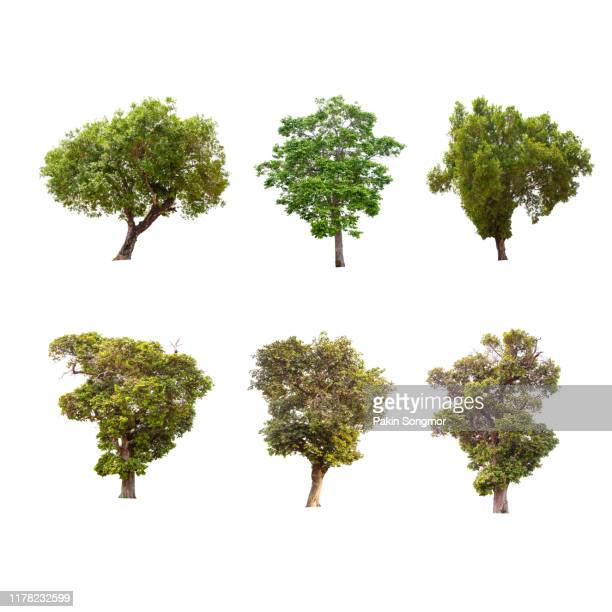 collections green tree isolated. green tree isolated on white background. - oak leaf stock pictures, royalty-free photos & images