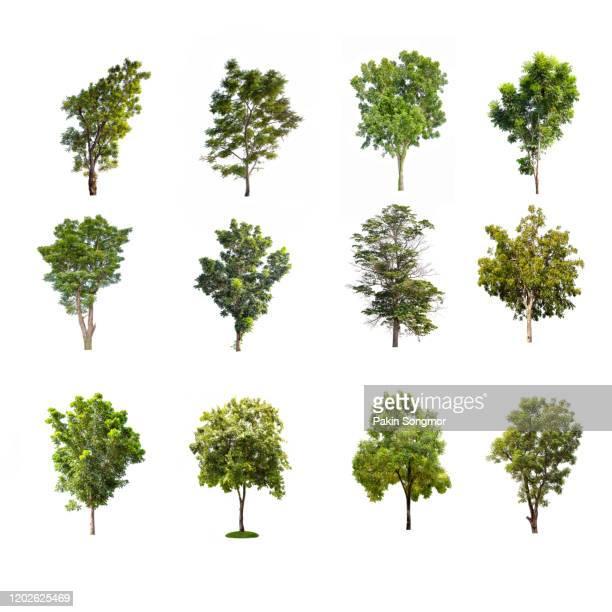 collections green tree isolated. green tree isolated on white background - árbol de hoja caduca fotografías e imágenes de stock
