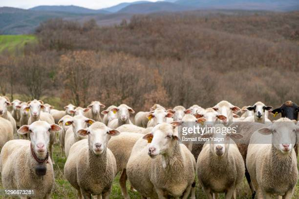 collective sheep look all together - 羊の群 ストックフォトと画像