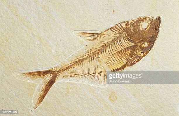 a fish fossil, diplomystus dentatus, from the eocene period. - fossil stock pictures, royalty-free photos & images