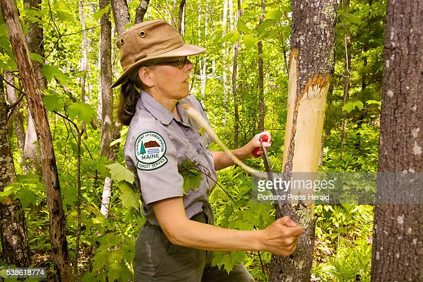 Colleen Teerling Entomologist Maine Forest Service Insect and Disease Lab strips the bark from an Ash Tree at Lake St George State Park in Liberty to...