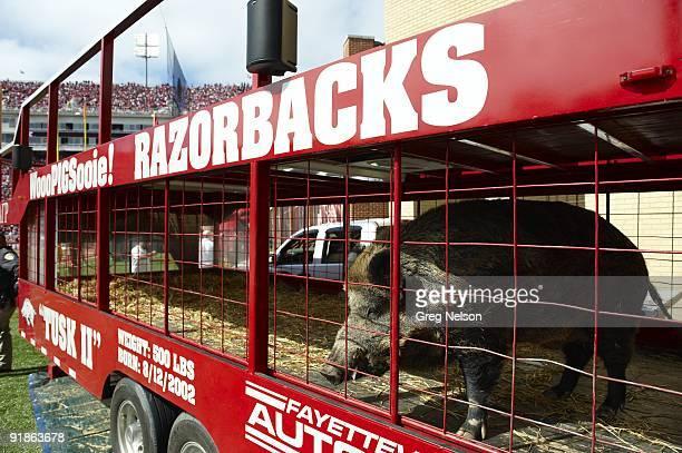 View of Arkansas Razorback mascot Tusk II, animal, before game vs Auburn. Fayetteville, AR CREDIT: Greg Nelson