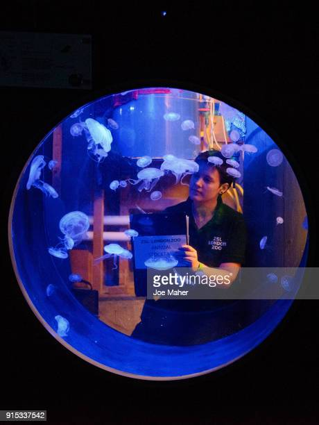 Collette Gibbings counting the moon jellyfish during the ZSL London Zoo annual stock take at ZSL London Zoo on February 7, 2018 in London, England.