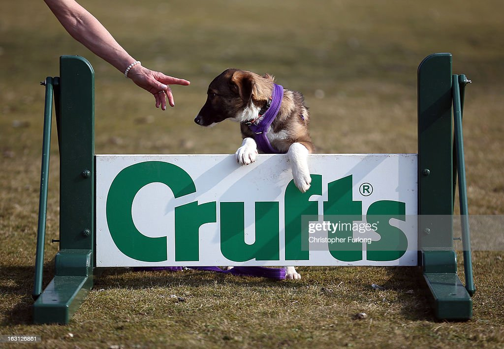 Collie cross Tiff, a five-month-old homeless rescue dog from Valgrays Border Collie Rescue Centre, takes instructions from her handler during a photocall to launch Crufts 2013 on March 5, 2013 in Birmingham, England. During this year's four-day competition over 22,000 dogs and their owners will vie for a variety of accolades but ultimately seeking the coveted 'Best In Show'.