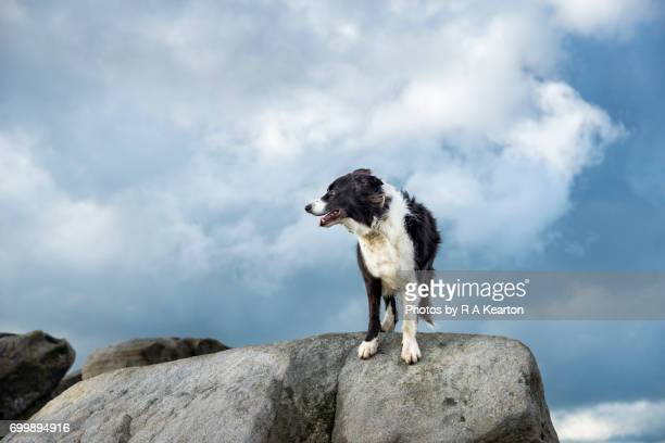 Collie dog in the great outdoors