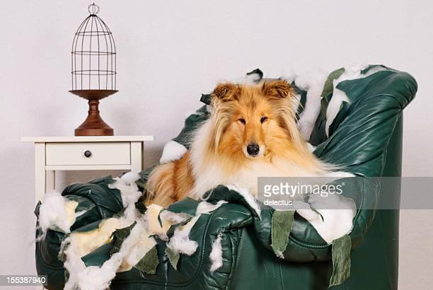 Collie perro está en una silla de cuero