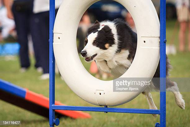 Collie dog jumping through hoop