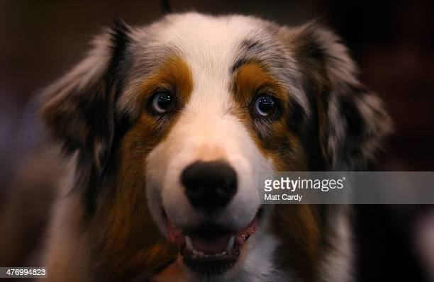 A collie dog looks out from its kennel at the end of the first day of Crufts dog show at the NEC on March 6 2014 in Birmingham England Said to be the...