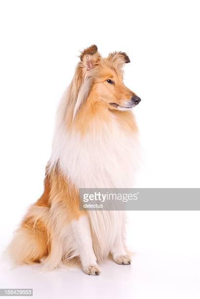 Collie perro, sablé un blanco