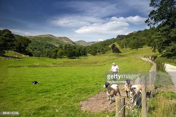 collie perro tomando parte en las ovejas cerca de ambleside estudios en perros - eden pastora fotografías e imágenes de stock